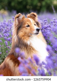Cute, fluffy sable white shetland sheepdog, little sheltie sitting outside on summer time in blooming lavender field. Fur small collie, little lassie dog smiling in violet flowers on summer day