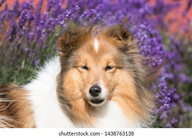 Cute, fluffy sable white shetland sheepdog, little sheltie lies outside on summer time in blooming lavender field. Fur small collie, little lassie dog smiling in violet flowers on summer day