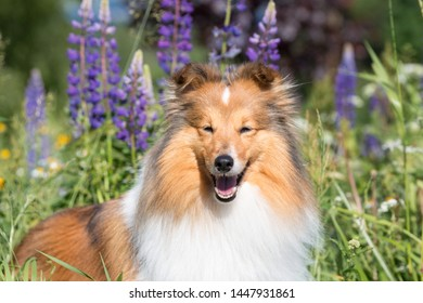 Cute, fluffy sable white shetland sheepdog, little sheltie sitting outside on summer time in blooming lupine field. Fur small collie, little lassie dog smiling in violet flowers on summer day