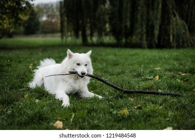 Cute, fluffy Samoyed dog lays in a field of grass, holding and chewing a stick in her mouth.