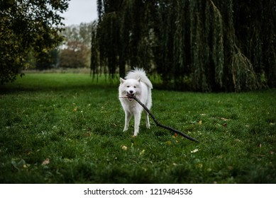Cute, fluffy Samoyed dog stands in a field of grass, holding and chewing a stick in her mouth.