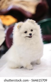Cute fluffy spitz sitting on table against blurred background