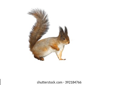 cute fluffy squirrel on white background