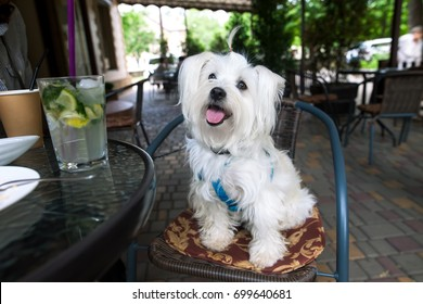 Cute fluffy white dog in cafe