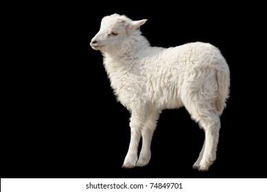 Cute fluffy white lamb isolated on black background
