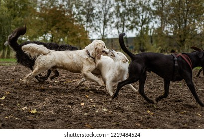 A cute, fluffy white Samoyed dog bares her teeth in playful aggression, while playing with a happy Golden Retriever dog at a dog park. Other dogs run with them.