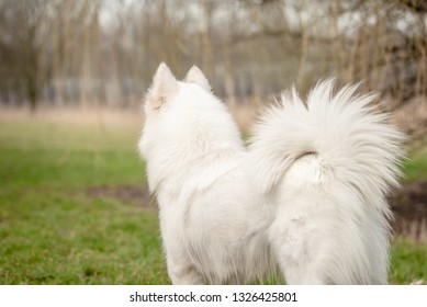 Cute, fluffy white Samoyed dog looks into the distance, away from the camera, at the dog park