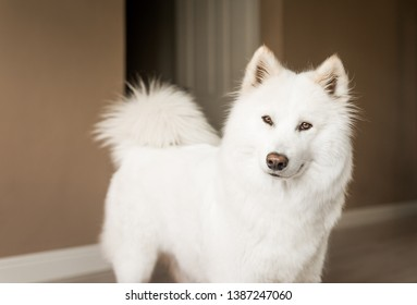 Cute, fluffy white Samoyed dog looks at the camera with a curious expression.