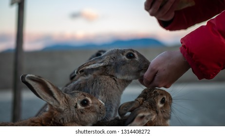 """Cute, fluffy wild bunnies waiting to be fed by visitors in the island of Okunoshima, also known as the """"Bunny Island"""", which is a small island located in the Inland Sea of Japan."""