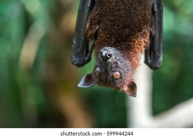 Cute flying fox is hanging upside down on the blurry green background in the zoo in Singapore. Closeup photo. Horizontal.