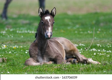 Cute foal lying in green grass full of white flowers
