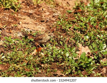 Cute foraging juvenile Chipping Sparrow
