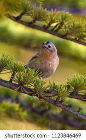 Cute forest bird. Goldcrest. Forest background.