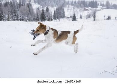 Cute fox terrier enjoying snow in winter