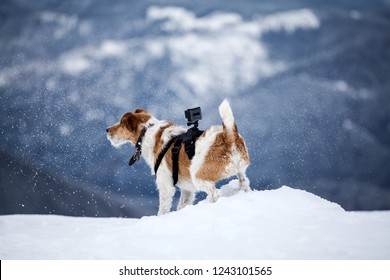Cute fox terrier with Go Pro camera playing in the snow