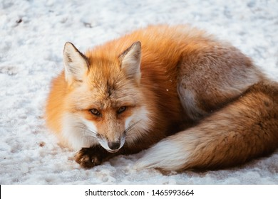 A Cute foxes on the snow during winter season in Zao fox village, Miyagi, Japan