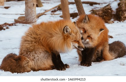 A Cute foxes on the snow during winter season in Zao fox village, Miyagi, Japan