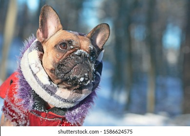 Cute French Bulldog dog with snow on nose wearing warm winter coat with fur collar and scarf in front of blurry winter snow forest landcape background