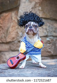 cute french bulldog musician with a guitar and a wig on