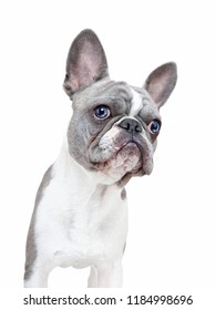 cute french bulldog puppy with a funny face isolated on a white background