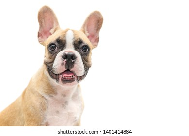 Cute french bulldog puppy looking isolated on white background and copy space for input text, animal and pet concept