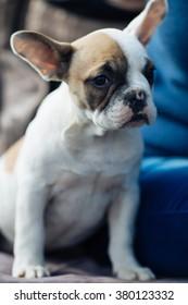 Cute French bulldog puppy. Selective focus.