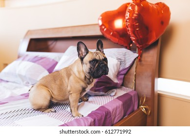 Cute french bulldog puppy sitting on bed next to heart balloons.