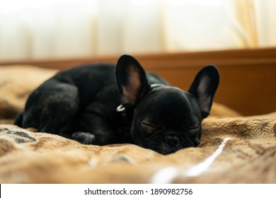 cute french bulldog or puppy sleep or resting on bed in room