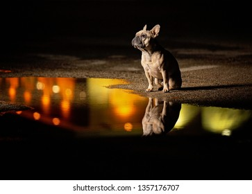 cute french bulldog sitting in front of a puddle at night with light reflections