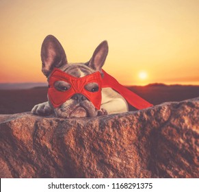 cute french bulldog with a super hero costume on at sunset toned with a retro vintage instagram filter