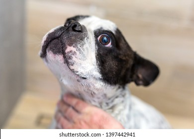 Cute french bulldog takes a shower bath