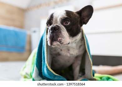 Cute french bulldog wrapped in towel after bath