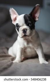 A cute french dog puppy