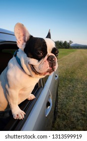 Cute frenchie puppy looks from the car window. Dog traveler