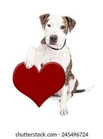 Cute and friendly Pit Bull Dog holding red heart