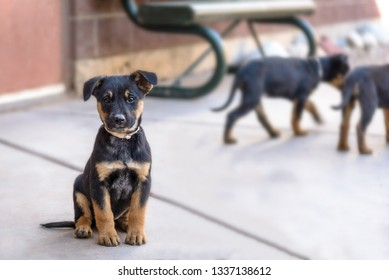 Cute and Friendly Shepherd Rottweiler Mix Puppy - Black and Tan and Brown Dog  - Animals for Adoption Outside Shelter - Aspen, Colorado