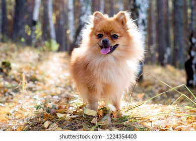 Cute friendly spitz dog walking in an autumn park