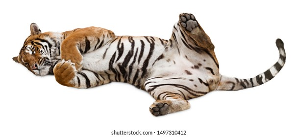 Cute friendly tiger rolling on its back