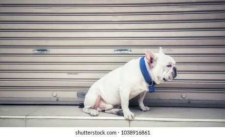 Cute and friendly white french bulldog. Dog sitting on floor looking something