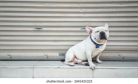 Cute and friendly white french bulldog. Dog sitting on floor and close eyes with funny face