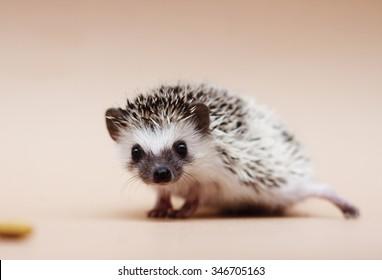 cute fun african pygmy hedgehog baby color algerian grey tobiano pinto with racoon eyes