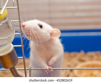 Cute funny big-eared rat in a cage (shallow DOF, selective focus on the rat nose)