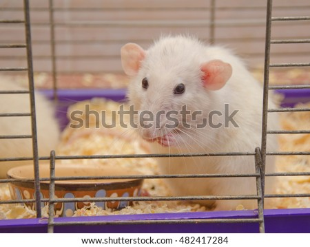 Cute funny big-eared rat in a cage (shallow DOF, selective focus on the rat nose and eyes)