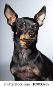 Cute and funny black and brown chihuahua dog isolated on grey background.