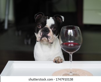 Cute funny boston terrier dog posing with a glass of wine - Stop alcoholism, drugs and addiction