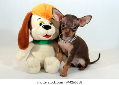 Cute and funny brown and tan short-haired Russkiy toy (Russian toy terrier) puppy with toy dog on a white background.
