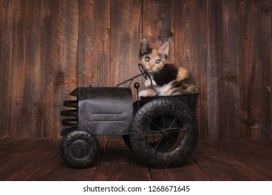 Cute Funny Calico Kitten Sitting in a Tractor Prop