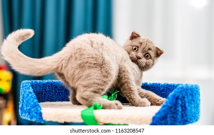 Cute funny cat playing at home