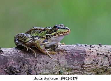Cute and funny common green frog (Pelophylax perezi) on a stick. Beautiful and colorful amphibian endangered by habitat loss. Iberian green frog (Perez frog) with big eyes resting in the forest.