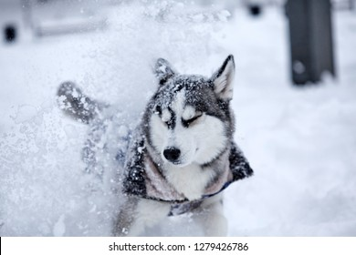 Cute funny dog hasky running in winter.Playing with snow.Dynamic shot.Motion